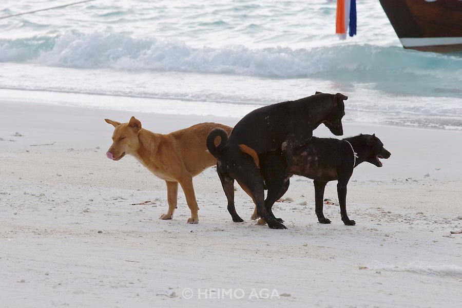 Pattaya Beach. Beach dogs screwing around.