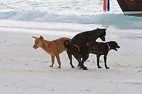 Pattaya Beach. Beach dogs screwing around.