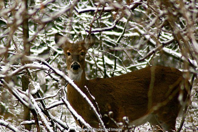 Deer Behind Fresh Snow