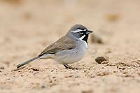 Adult Black-throated Sparrow (Amphispiza bilineata) of the subspecies A. b. bilineata. Hidalgo County, Texas. March.