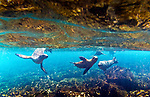 Galapagos sea lions swimming, Galapagos Islands