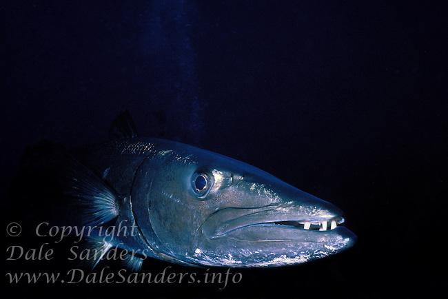 Close up of Great Barracuda (Sphyraena barracuda), Grand Cayman Island, BWI.