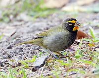Adult male yellow-faced grassquit