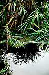 Reflections of reeds in water