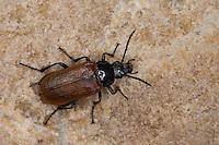 Pflanzenkäfer, Pflanzen-Käfer, Omophlus lepturoides, Odontomophlus lepturoides, Comb-clawed beetle, Comb clawed beetle, Pflanzenkäfer, Alleculidae