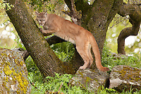 Cougar standing and leaning against a mossy tree - CA