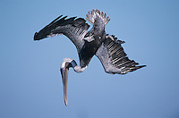 Brown Pelican, Pelecanus occidentalis,adult in flight diving, Port Aransas, Texas, USA, December 2003