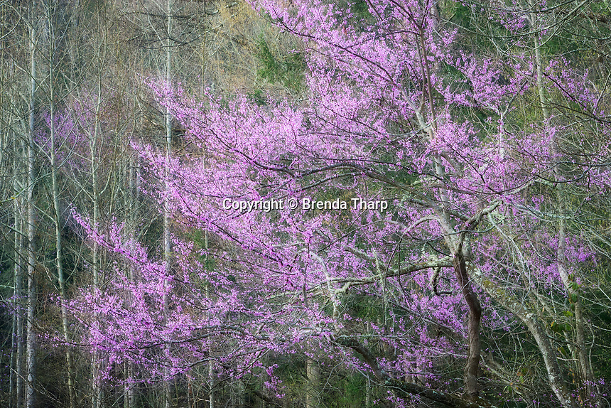 Redbud Tree blooming in Tennessee with a dreamy glow effect.