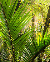Juicy green native Nikau Palms forest near Punakaiki, Paparoa National Park, Buller Region, South Island, New Zealand, NZ