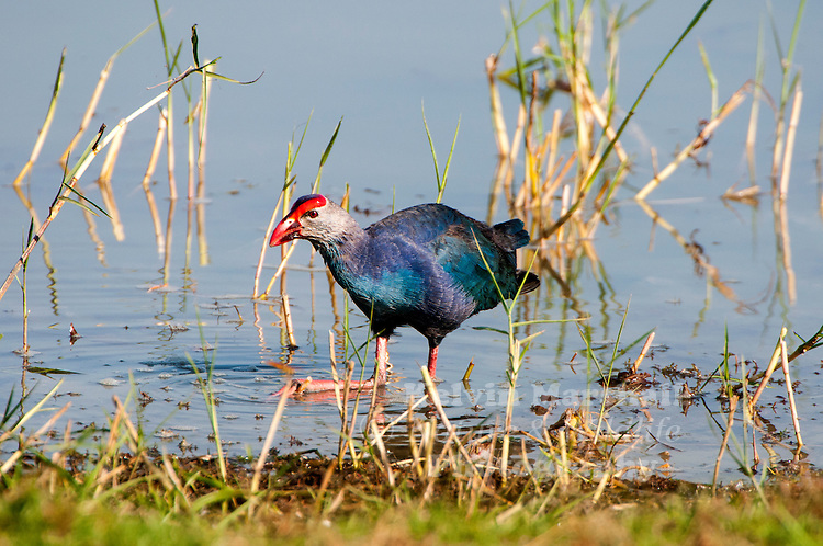 """Purple swamphen (Porphyrio porphyrio) is a """"swamp hen"""" in the rail family Rallidae. Also known locally as the pūkeko, African purple swamphen, purple moorhen, purple gallinule or purple coot. From its French name talève sultane, it is also known as the sultana bird. This chicken-sized bird, with its large feet, bright plumage and red bill and frontal shield is easily recognisable in its native range. Bundala National Park - Sri Lanka."""