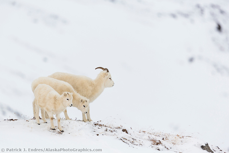 A female dall sheep and her twin lambs forage in the snow in Atigun pass of the Brooks Range, arctic, Alaska.