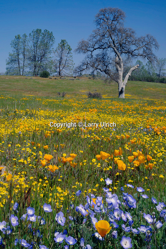 Baby blue-eyes and California poppies<br />