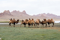 Ulgii_Byan camel herding