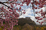 A cherry blossom tree (Prunus) in full bloom frames the Edinburgh Castle in spring in the West Princes Street Garden in Edinburgh, Scotland, United Kingdom