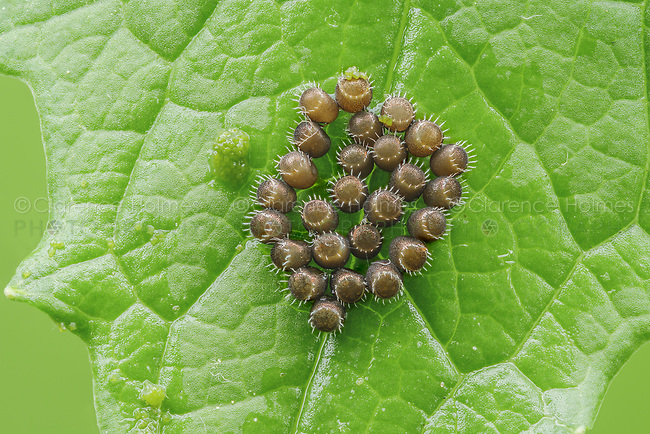 Unhatched eggs of a Spined Soldier Bug (Podisus maculiventris) wait to hatch on the surface of a leaf.