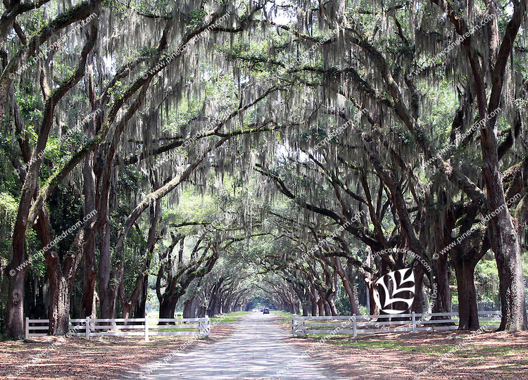 Stock photo: Gorgeous Spanish moss and oak trees on the other side of the fence spanning the oaks lined path in wormsloe plantation Savannah Georgia, US.