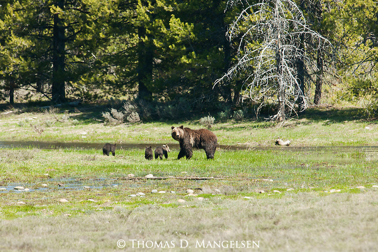 Cubs stay close by their mother (grizzly 399) in a green meadow in Grand Teton National Park, Wyoming.