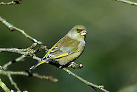 Greenfinch Carduelis chloris L 14-15cm. Familiar greenish finch with pinkish, conical bill, yellowish patch on wings and yellow sides to base of tail. Sexes are dissimilar. Adult male is mainly yellowish green, darkest on back, with grey on face, sides of neck, and on wings. Intensity of colour increases through winter as pale feather fringes are worn. Adult female is similar but duller and faintly streaked. Juvenile recalls adult female but back and pale underparts are obviously streaked. Voice Utters a sharp jrrrup call in flight. Song comprises well-spaced wheezy weeeish phrases or rapid, trilling whistles. Status Fairly common. In breeding season, favours parks, gardens and hedgerows. In winter, forms flocks that visit gardens and arable fields.