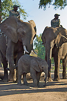 Elephant Back Safaris on the Zambezi River, Zambia Africa, where you can interact with the elephants.  You can take a Safari which will take you into the Zambezi and the surrounding area.  Zambezi Elephant Trails sponsors the safari.