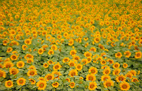 Sunflowers<br /> Winnipeg<br /> Manitoba<br /> Canada