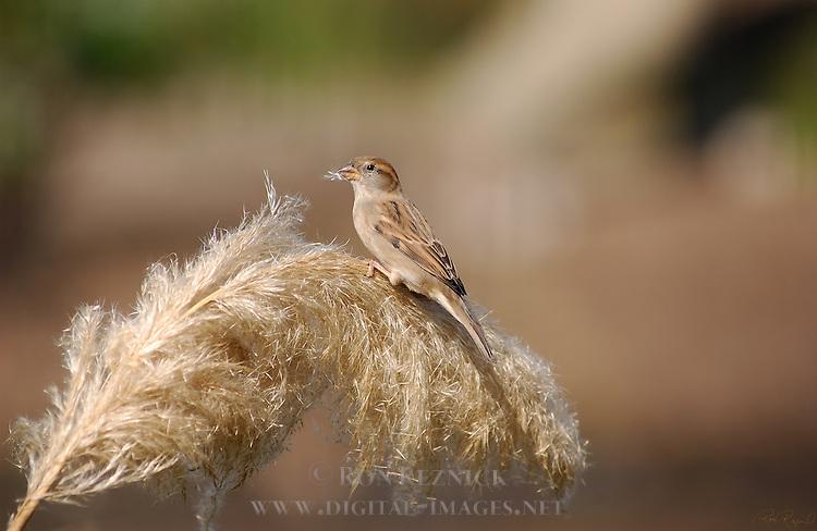 Sparrow Female on Pampas Grass House Sparrow Southern California