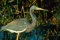 Tricolored heron, standing in swamp, Florida