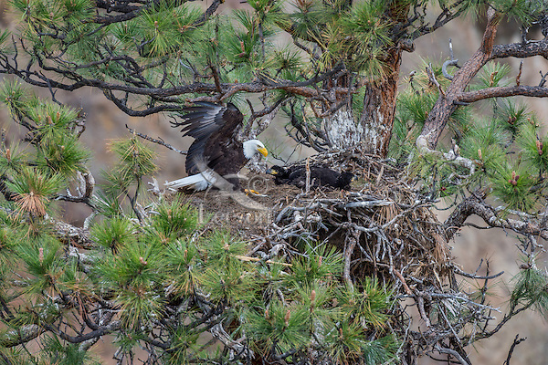 Bald Eagle Nest (Haliaeetus leucocephalus)--adult bringing small fish into nest with two 5 to 6 week old eaglets in tall ponderosa pine tree.  Oregon.  May.