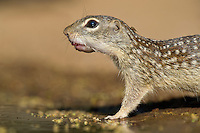 679270087 a wild mexican ground squirrel spermophilus mexicanus at mike murphys ranch in the texas hill country