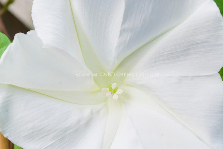 Huge white flower of annual vine Moonflower closeup Ipomoea alba, fragrant flowers at night