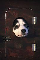 Dog poking head out of truck Kennel Restart Wasilla/ '96 Iditarod