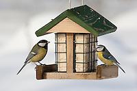 Kohlmeise und Blaumeise an der Vogelfütterung, Fütterung im Winter bei Schnee, an Häuschen mit Fettfutter, Energiekuchen, Winterfütterung, Kohl-Meise, Meise, Parus major, great tit, Blau-Meise, Cyanistes caeruleus, Parus caeruleus, blue tit