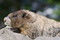 Hoary Marmot (Marmota caligata).  Cascade Mountains, Pacific Northwest.  Summer.