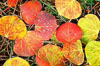 Red and gold aspen leaves with morning dew.