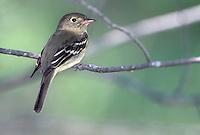 Yellow-bellied Flycatcher - Empidonax flaviventris