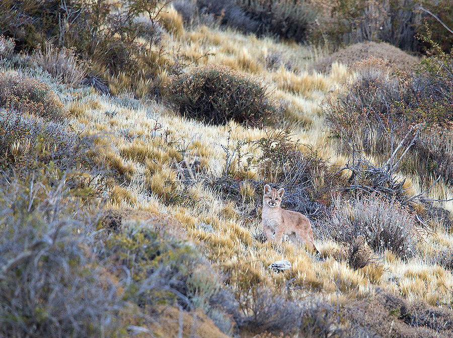 A puma cub waits for its mom to catch up before climbing a hillside in southern Chile.