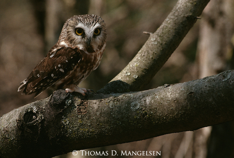 Northern Saw-whet Owl perched in a tree.