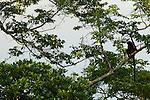 Gray-cheeked Mangabey (Lophocebus albigena) juvenile male in tree, Lope National Park, Gabon