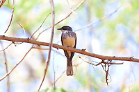 Northern Fantail, Lee Point, Darwin, NT, Australia