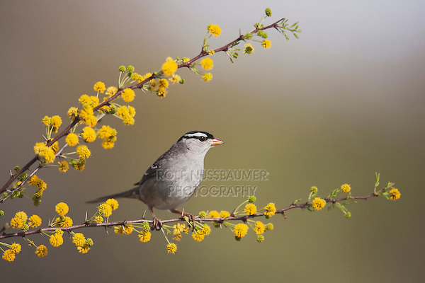 White-crowned Sparrow (Zonotrichia leucophrys), adult, Sinton, Corpus Christi, Coastal Bend, Texas, USA