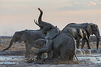 Elephants having fun in a muddy water hole.