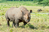 Black Rhinoceros or Hook-lipped Rhinoceros (Diceros bicornis), Kenya, Africa