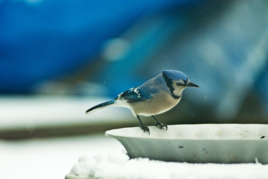 Blue Jay at the bird feeder unaware of an impending attack from a Cardinal.