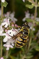 Totenkopfschwebfliege, Totenkopf-Schwebfliege, Gemeine Doldenschwebfliege, Dolden-Schwebfliege, Schwebfliege beim Blütenbesuch, Bestäubung, Nektarsuche, Myathropa florea, Deathskull Fly, deathskull hoverfly
