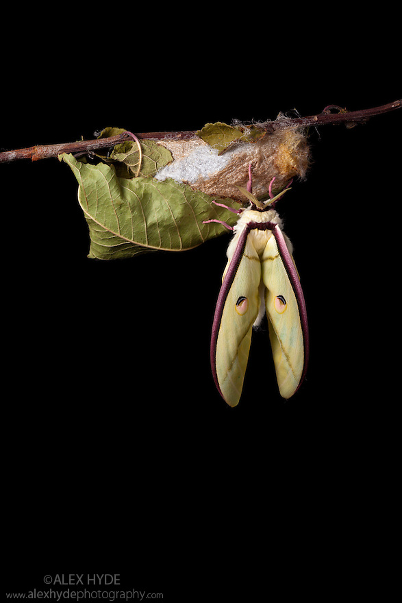 Indian Moon Moth / Indian Luna Moth {Actias selen} emerging from cocoon.  Captive. Sequence 11 of 24.
