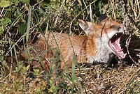 Fox 151015