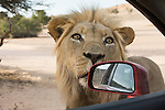 Lion, Panthera leo, looking into car, Kgalagadi Transfrontier Park, South Africa