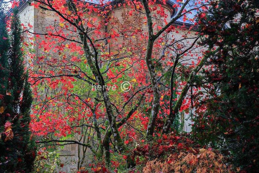 France, Allier (03), Villeneuve-sur-Allier, Arboretum de Balaine en automne, le château et l'érable du Japon 'Deshôjo' (Acer Palmatum 'Deshôjô')