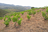 Vineyard. Domaine Matassa, Calces, Roussillon, France