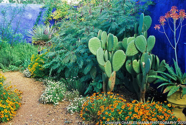 Aloes, pirckly pears, yuccas and other plants create an exotic atmosphere when seen against the dramatic blue walls of the demonstration garden created by Mike Shoup at the Antique Rose Emporium in San Antonio, Texas..