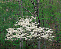 Dogwood tree in bloom on the Gutandotte Beauty Trail; Chief Logan State Park, WV